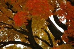 Tree Maple Fall #1177