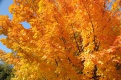 Tree Maple Fall #2702
