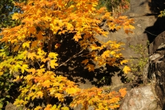 Tree Maple Golden Fall #2703
