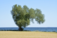 Tree-Willow-Cressy-3858