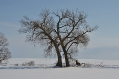 Tree Willow Cressy Winter ##3431