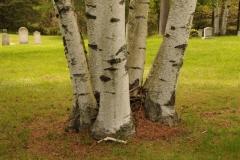 Trees Birch Trunks #2442