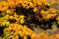 Trees Maple Golden Fall (v) #2709