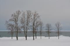 Wellington Trees Winter #3516