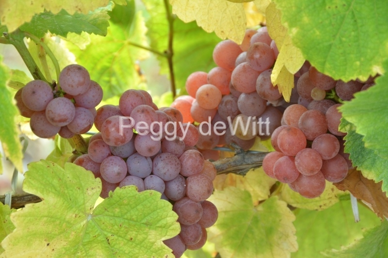 Grapes Blush #3263