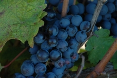 Grapes Blue (v) #1875