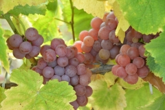 Grapes Blush #3263