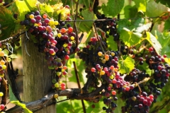 Grapes Colourful Waupoos #2545