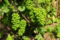 Grapes Green 09 #2546