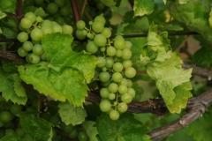 Grapes Green 2 #2169