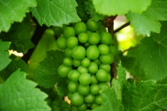 Grapes Green Hillier#2547