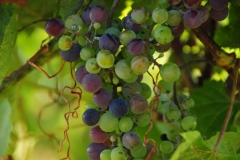 Grapes Waupoos #2448