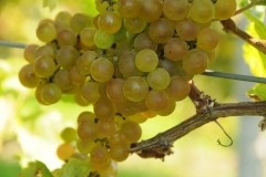 Grapes Yellow #2170