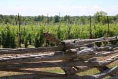 Vineyard Fence Rail #3440