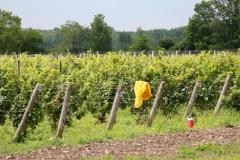 Vineyard-Hillier-Harvest-3632