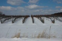 Vineyard Hillier Winter #1952