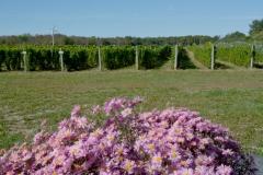 Vineyard Pink Mums #3441