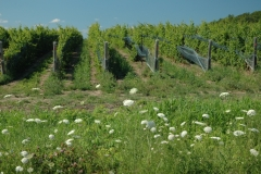 Vineyard Queen Ann's Lace #2318