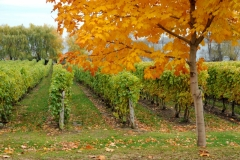 Vineyard Waupoos Fall #3444