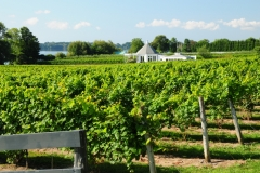 Waupoos Vineyard #2718