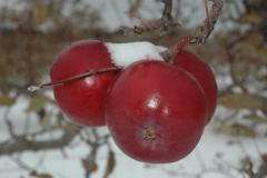 Apple Snow Winter #971