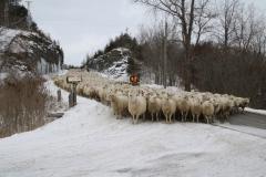 Sheep Rockcut #3407
