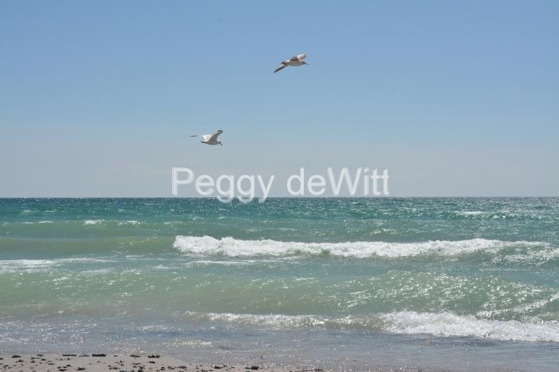 Wellington Beach Two Seagulls #3467