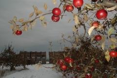 Apples Tree Winter #1638
