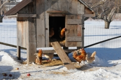 Chicken Coup Winter #2772
