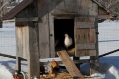 Chicken Coup Winter (v) #2771
