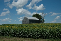 Wolfe Island Sunflowers #1324